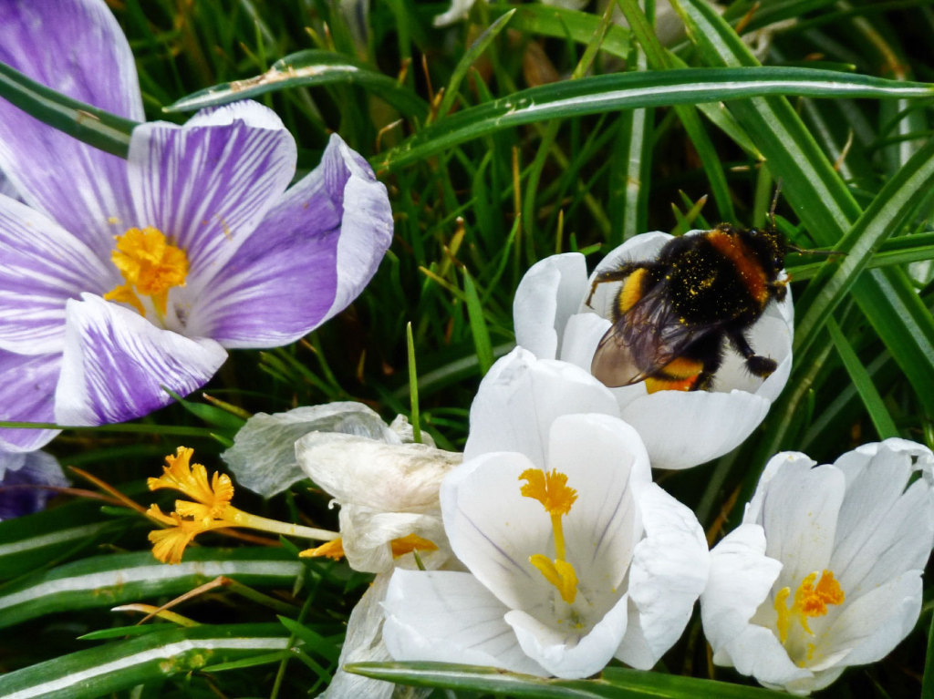 A bumble bee enjoying the crocus pollen in Conway rec, North London