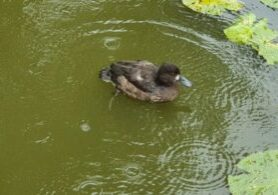 Duck_041020
